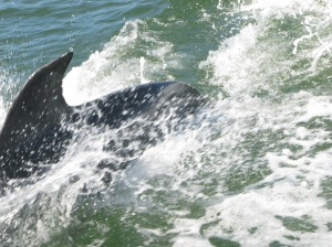 Dolphins played in the wake of our ferry boat to an island on the Gulf Coast